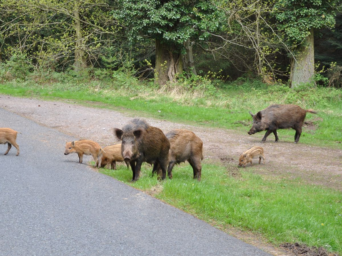 A-family-of-boar-in-the-Forest-of-Dean.jpg