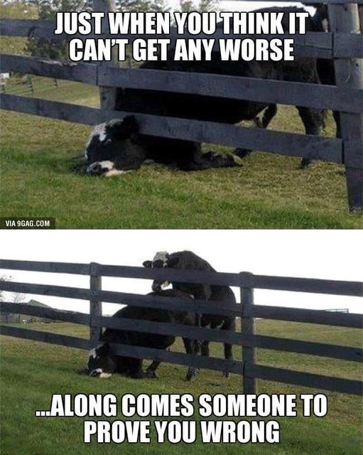 cow in fence.jpg